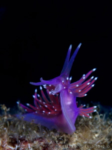 Portofino - Faro - Flabellina by Pietro Formis 